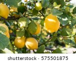 close up of lemons hanging from ... | Shutterstock . vector #575501875