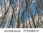 Leafless Birch Trees Against...