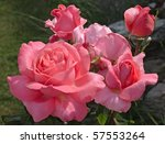 Vibrant Pink Rose  Variety ...
