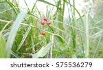 Green Grass Sedge In The...