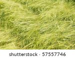 Young green wheat plants in a field - stock photo