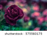 Stock photo abstract blurred rose 575583175