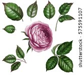 Stock photo purple rose watercolor rose watercolor flower with leaves botanical illustration botanical art 575591107
