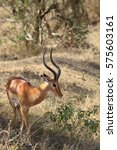 Small photo of The adult male of an antelope impala is quietly grazed in the African savanna