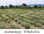 Immortelle  Helichrysum...