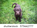 Stock photo chocolate labrador puppy on the green grass background 575662777