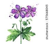 purple wild flower  watercolor... | Shutterstock . vector #575668045