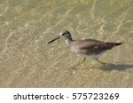 Sandpiper Wading In Shallow...