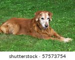 elderly  golden retriever dog - stock photo