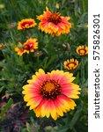 gerbera field background | Shutterstock . vector #575826301