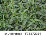 green grass. polygonum... | Shutterstock . vector #575872399
