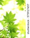 leaves of fresh green.leaves of ... | Shutterstock . vector #575917657