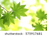 leaves of fresh green.leaves of ... | Shutterstock . vector #575917681