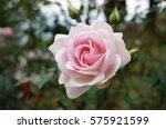 Stock photo pink rose in garden 575921599