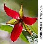Small photo of Red Trillium (Trillium erectum).