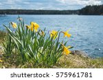 Narcissus Flowers On The Shore...