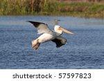 American White Pelican ...
