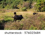 a scattering cows eating grass... | Shutterstock . vector #576025684