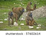 Family Troop Of Guinea Baboons