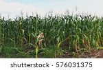 corn plants during daytime | Shutterstock . vector #576031375