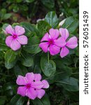 Small photo of Pink vinca flowers
