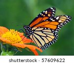 Monarch Butterfly On A Mexican...