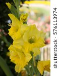 Gladiolus Yellow Flowers In The ...