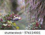 A Red Bellied Woodpecker Hangs...