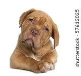 Stock photo dogue de bordeaux puppy weeks old lying in front of white background 57612025