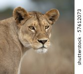 Close Up Of Lioness In...