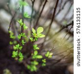 the first green leaves of... | Shutterstock . vector #576133135