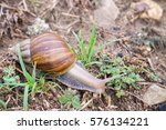 Land Snail Is One Of Snail...