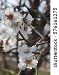 Small photo of almond tree, almond blossom