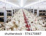 indoors chicken farm  chicken... | Shutterstock . vector #576170887