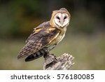 Stock photo barn owl canadian raptor conservancy 576180085