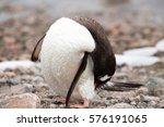 A Gentoo Penguin Preens Itself...