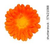 Orange Pot Marigold - Beautiful Calendula officinalis Isolated on White Background. Top view - stock photo