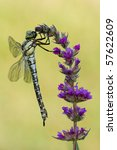 Small photo of migrant hawker - Aeshna mixta