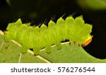 The luminescent green glow of the Polyphemus Caterpillar stands out as it eats its way through its final instar stage, soon to turn into the large and beautiful Polyphemus moth. Common in the USA.