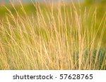 Prairie Grass Closeup  2