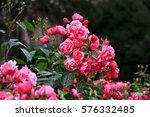 Stock photo pink roses in garden 576332485