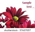 Red Chrysanthemum Flowers On A...