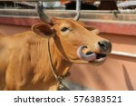 Portrait Of Brown Cow With His...
