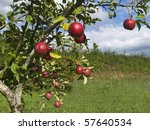 Several Red Apples Hanging On...