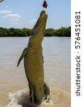 saltwater crocodile jumping for ... | Shutterstock . vector #576451081