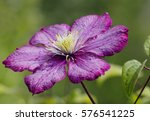 Flower  Burgundy Clematis This...