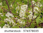 """Small photo of """"Amelanchier canadensis"""" is a species of Amelanchier native to eastern North America in CanadaBush also known as shadbush, shadwood or shadblow Canadian serviceberry, chuckleberry, currant-tree."""