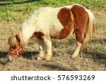 miniature horse eat grass.