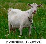 Goat Grazed On A Meadow
