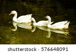 Three Swans  Swimming In A Lake